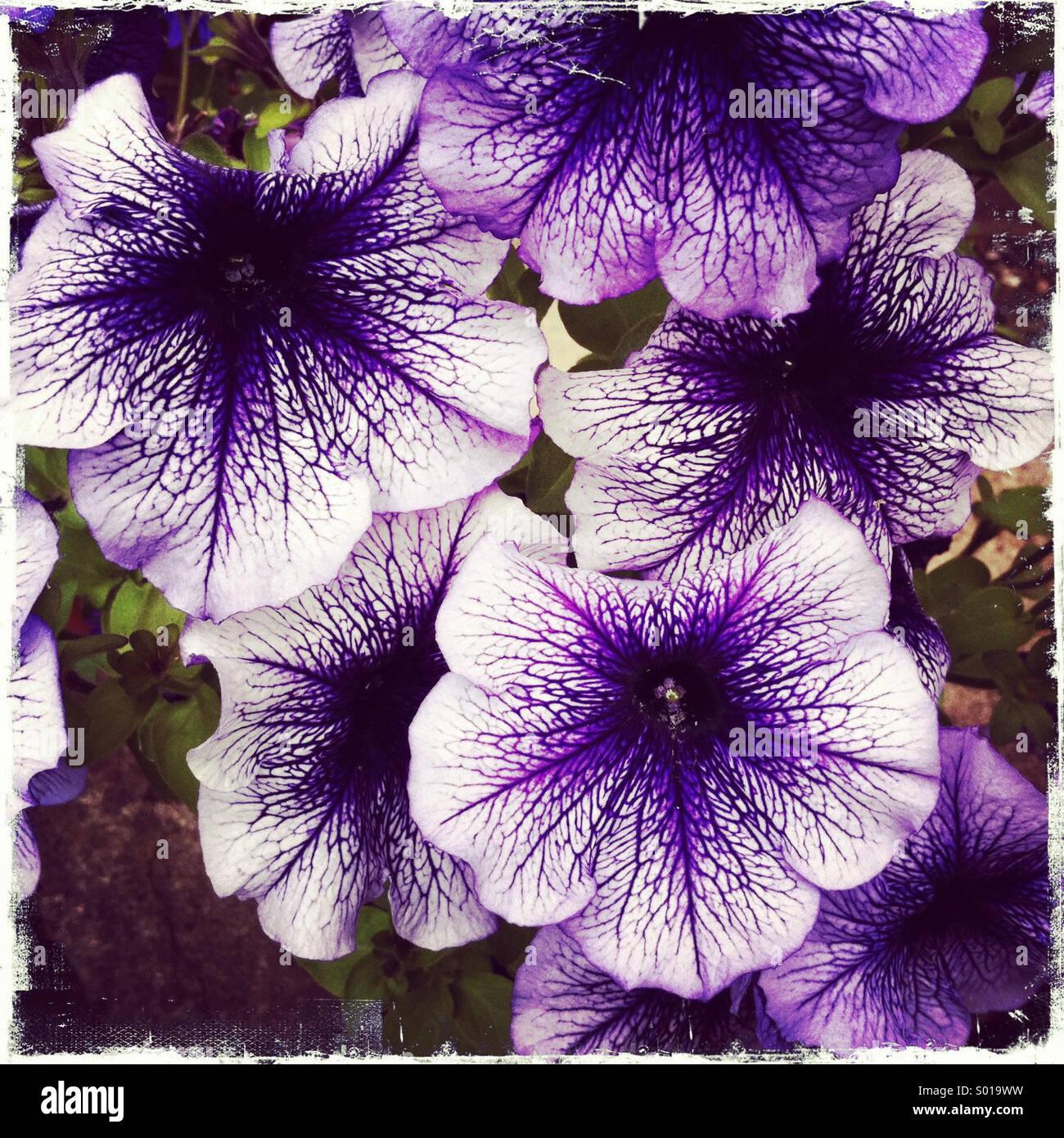 Purple flowers - Stock Image