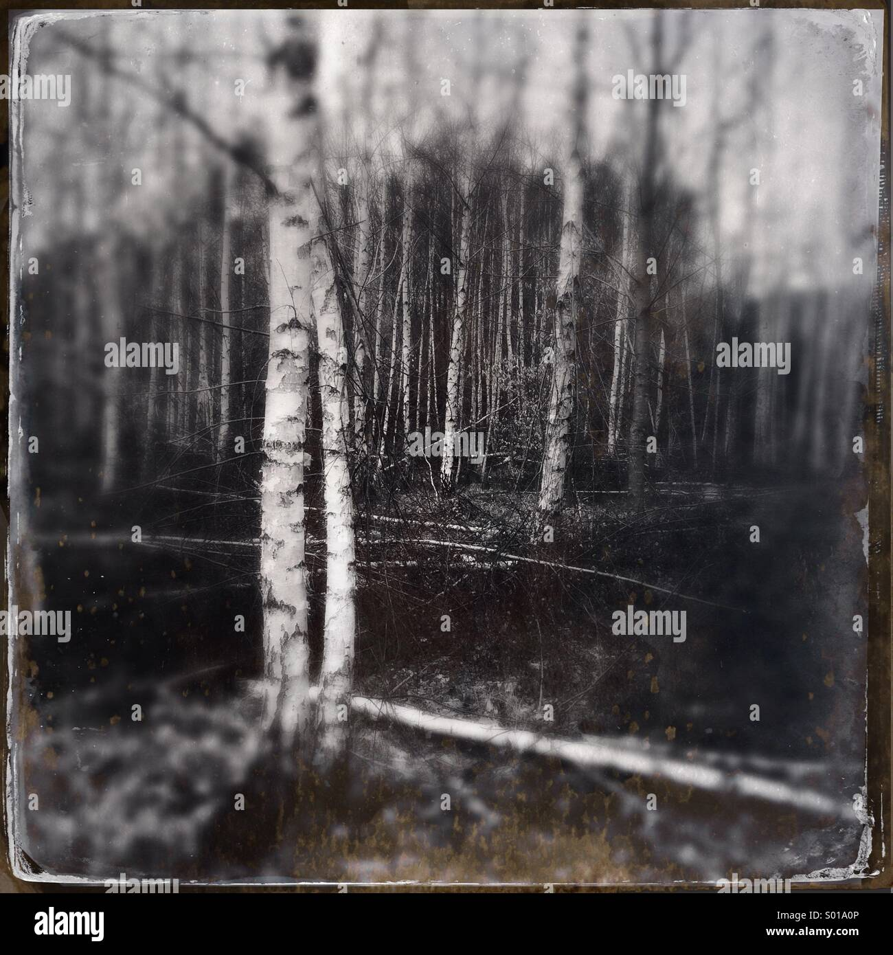 Birch trees in enchanted forest - Stock Image