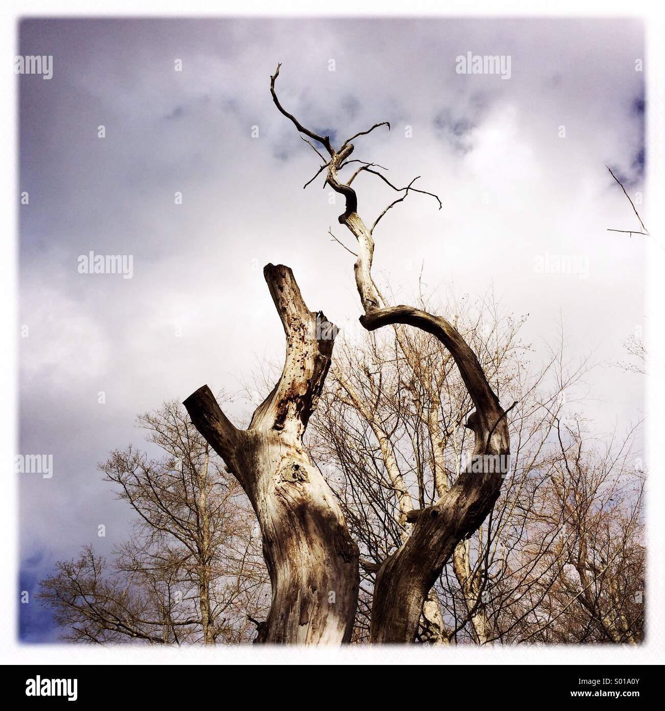 Remarkable tree in nature park Schönbuch Germany - Stock Image