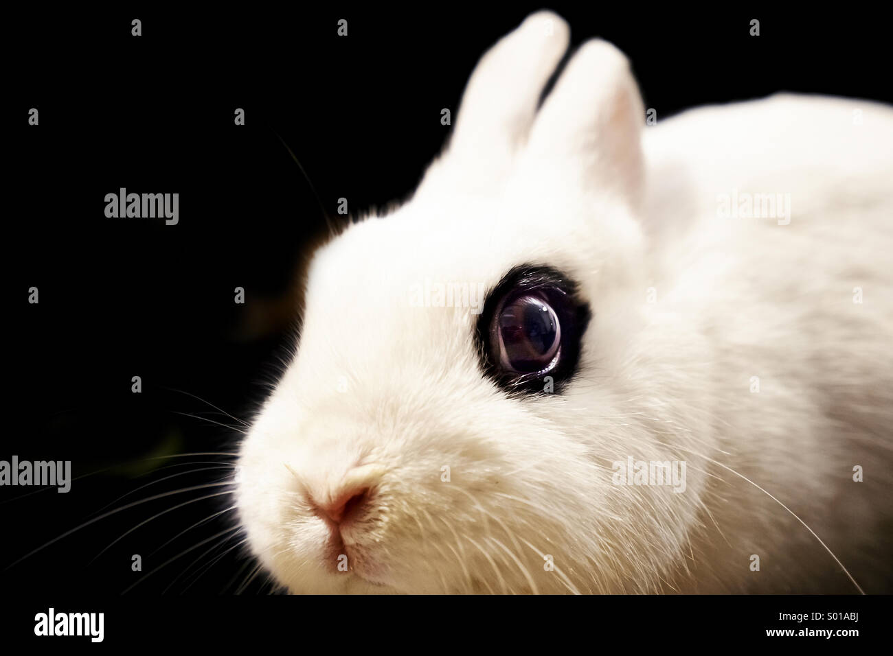 White rabbit close up - Stock Image