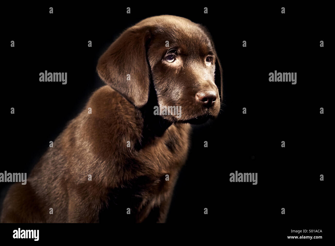 Brown Labrador puppy - Stock Image