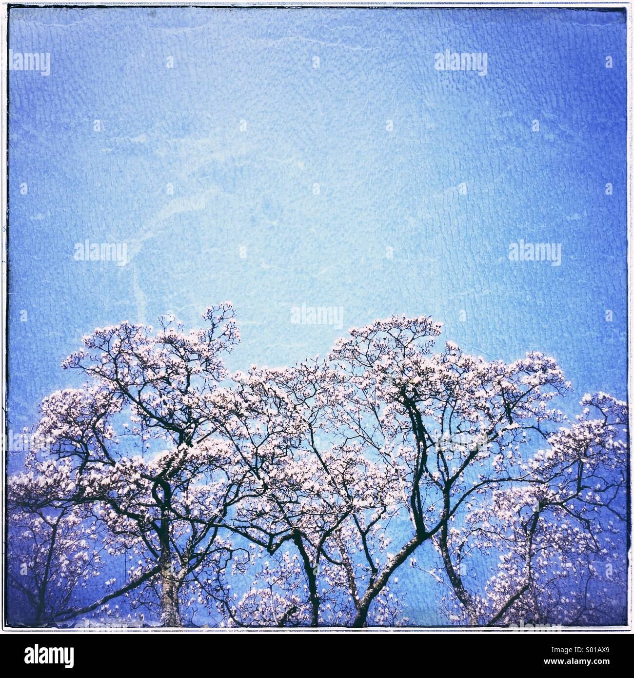 Tree blossom against blue sky - Stock Image