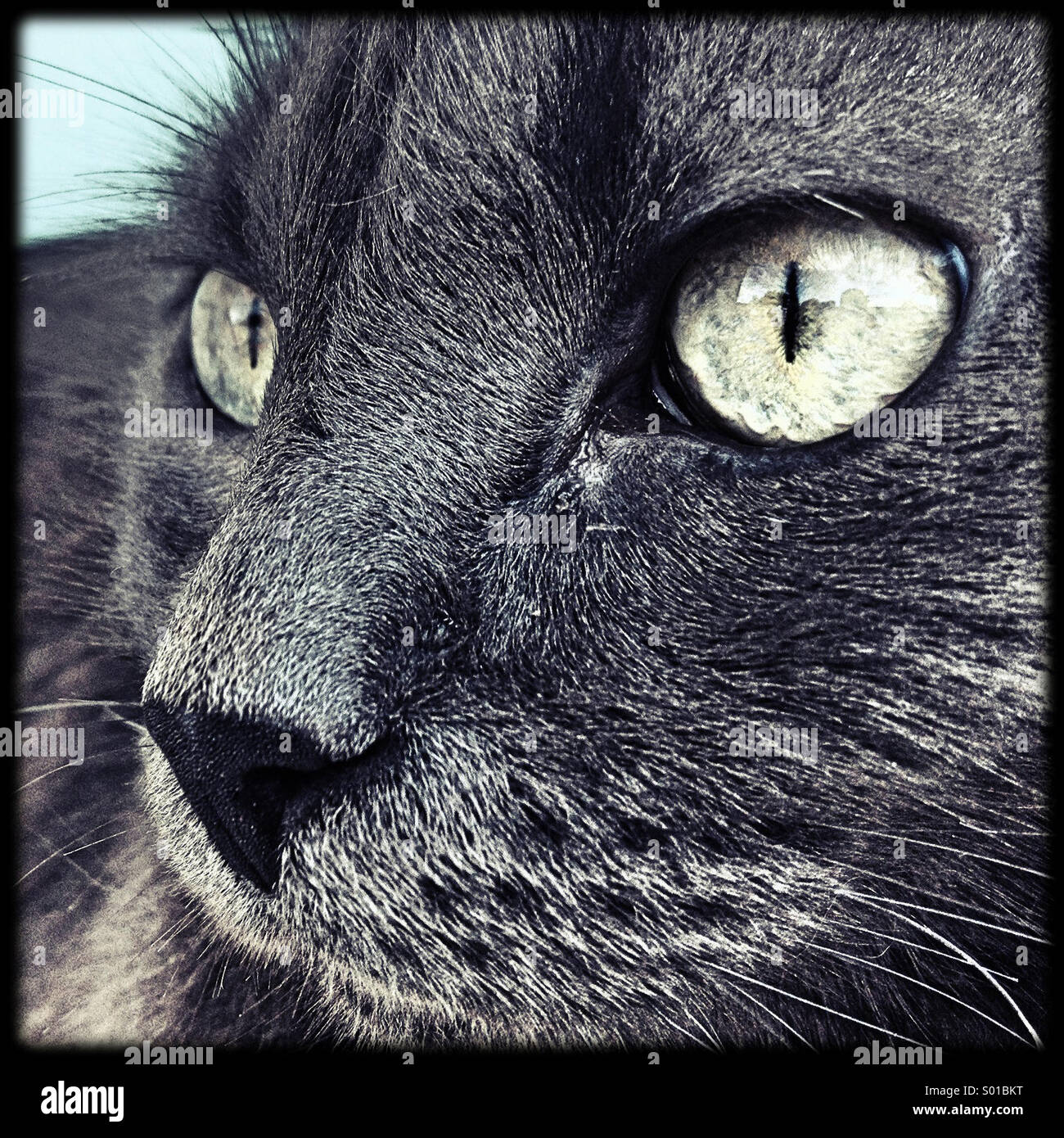 Green Eyes of a Grey Nebelung Cat - Stock Image