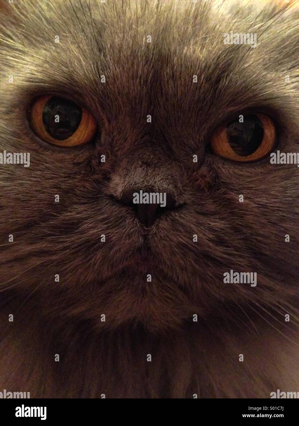 Persian cat - Stock Image