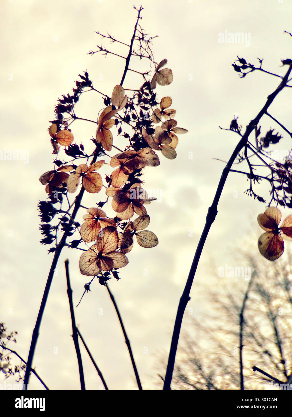 Dry flowers in winter. - Stock Image