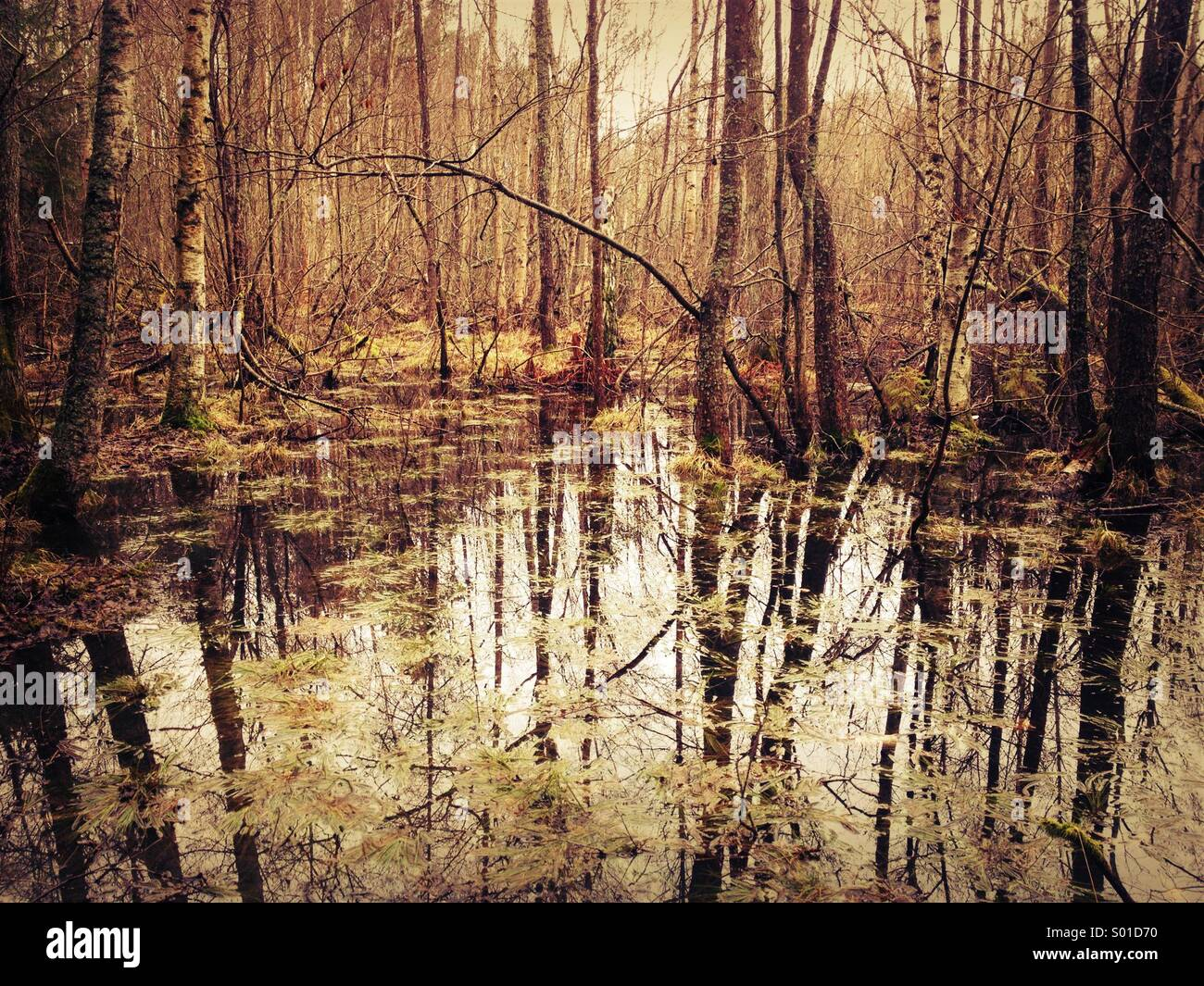 Water logged flooded swamp land in Swedish Forest. - Stock Image