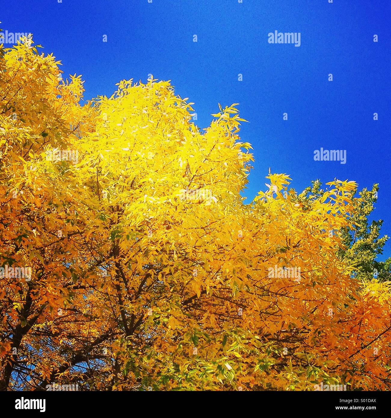 Brilliant autumn leaves against blue sky - Stock Image