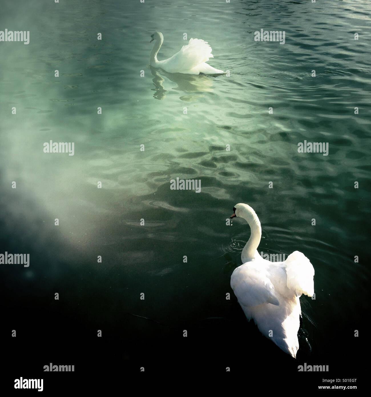Two swans on Lincoln Brayford Pool showing their warning stance, one water dripping from beak charges for the other Stock Photo