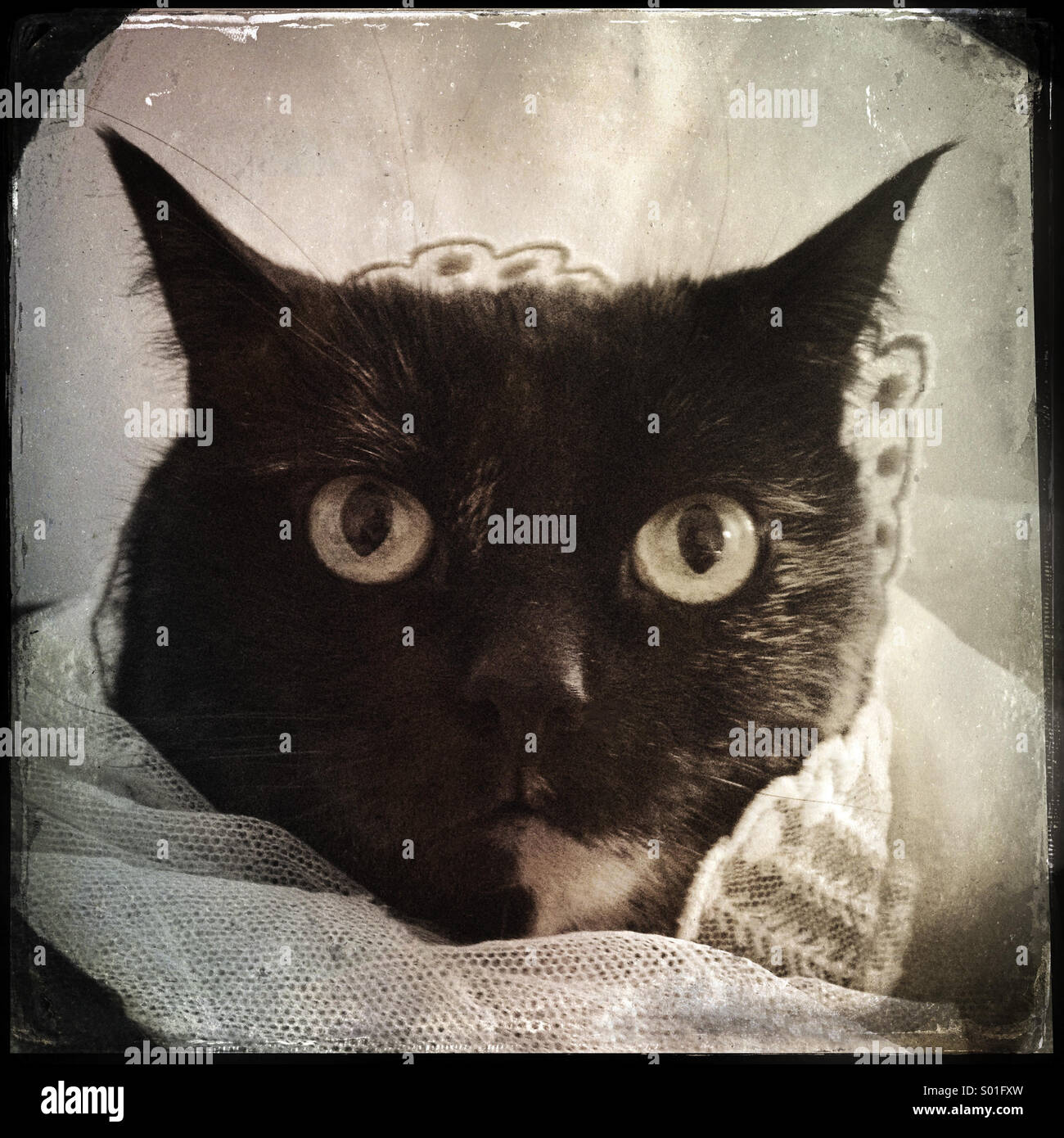 Black Cat with Old Lace - Stock Image