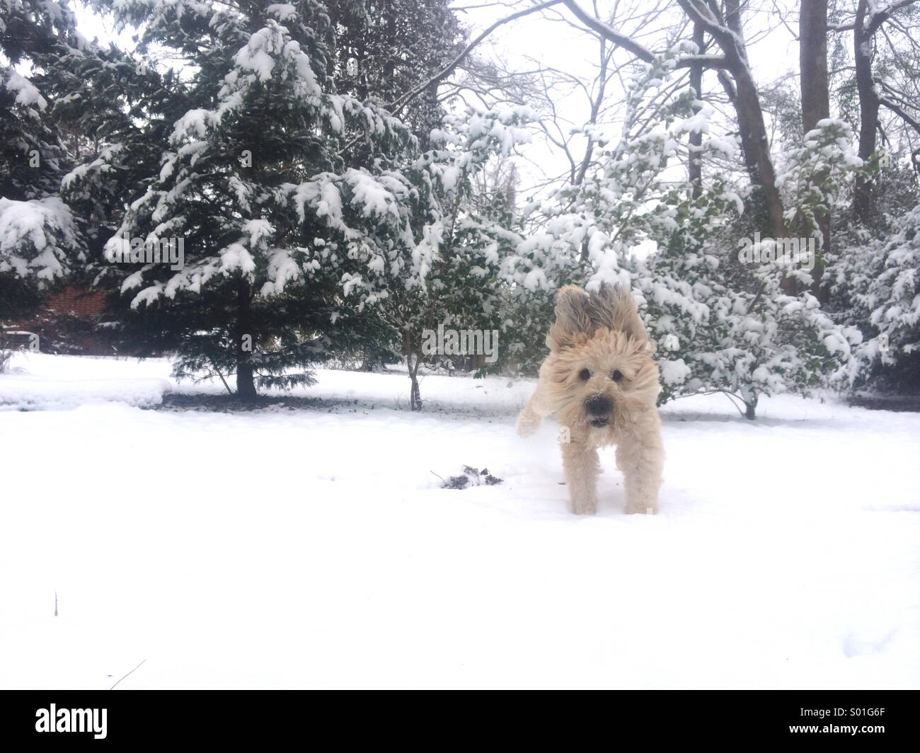 Jumping around in the snow, ears flapping. - Stock Image