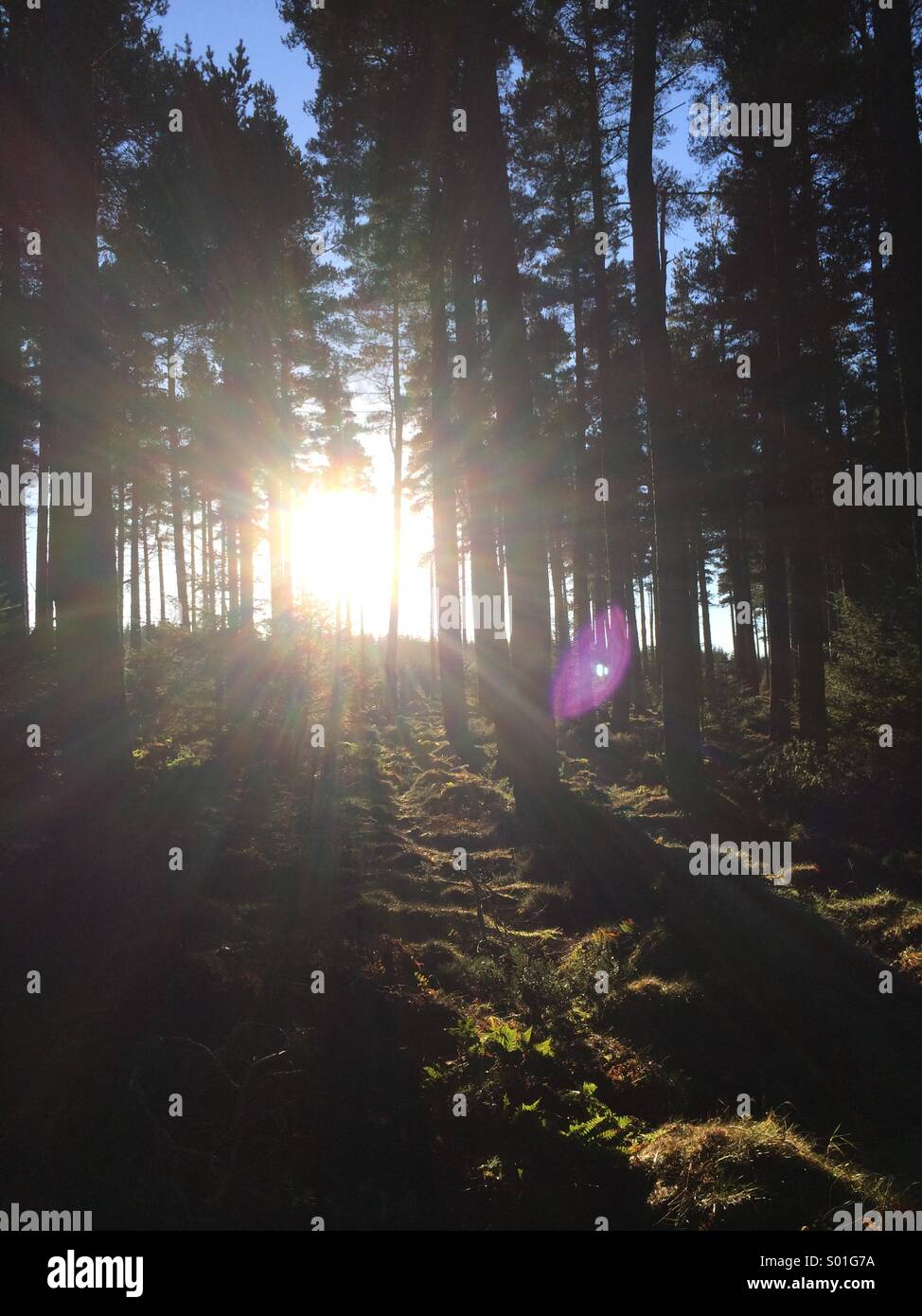 Sunlight shining through pine trees in a forest in Northumberland, England. Stock Photo