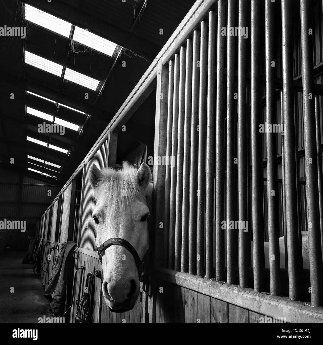 Horse looking out of a stable - Stock Image