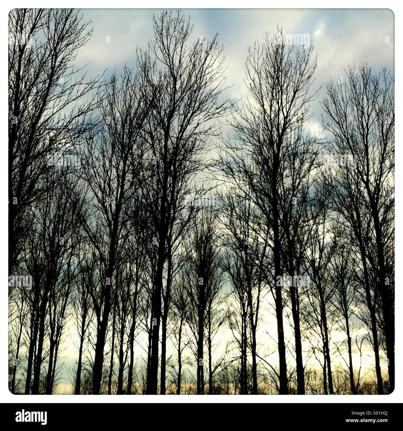 Silhouette of looming wintery trees against the sky at dusk - Stock Image