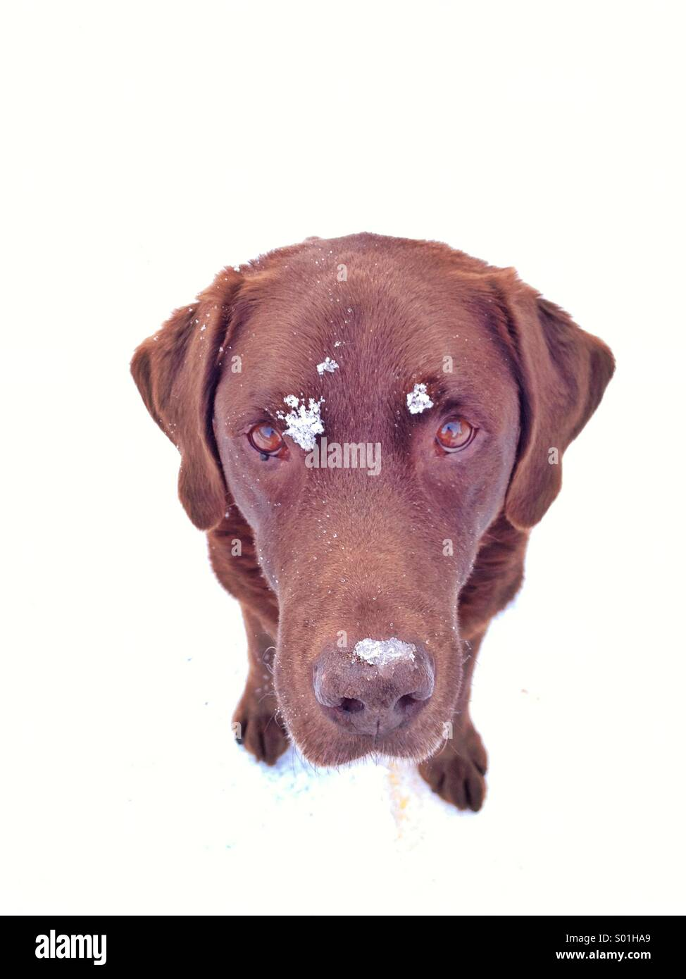 Portrait of chocolate lab in the snow - Stock Image