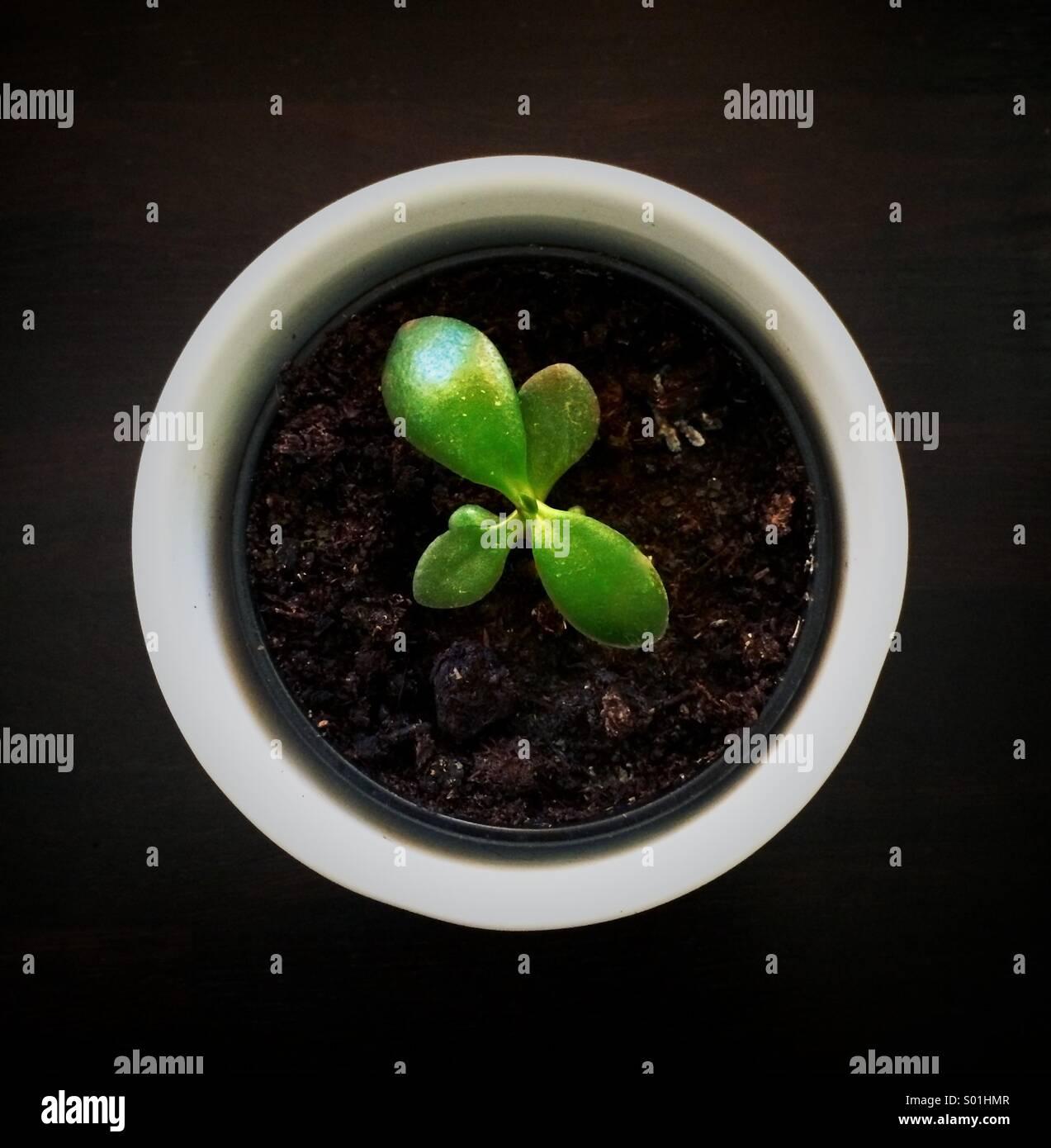 Small pot of money plant - Stock Image