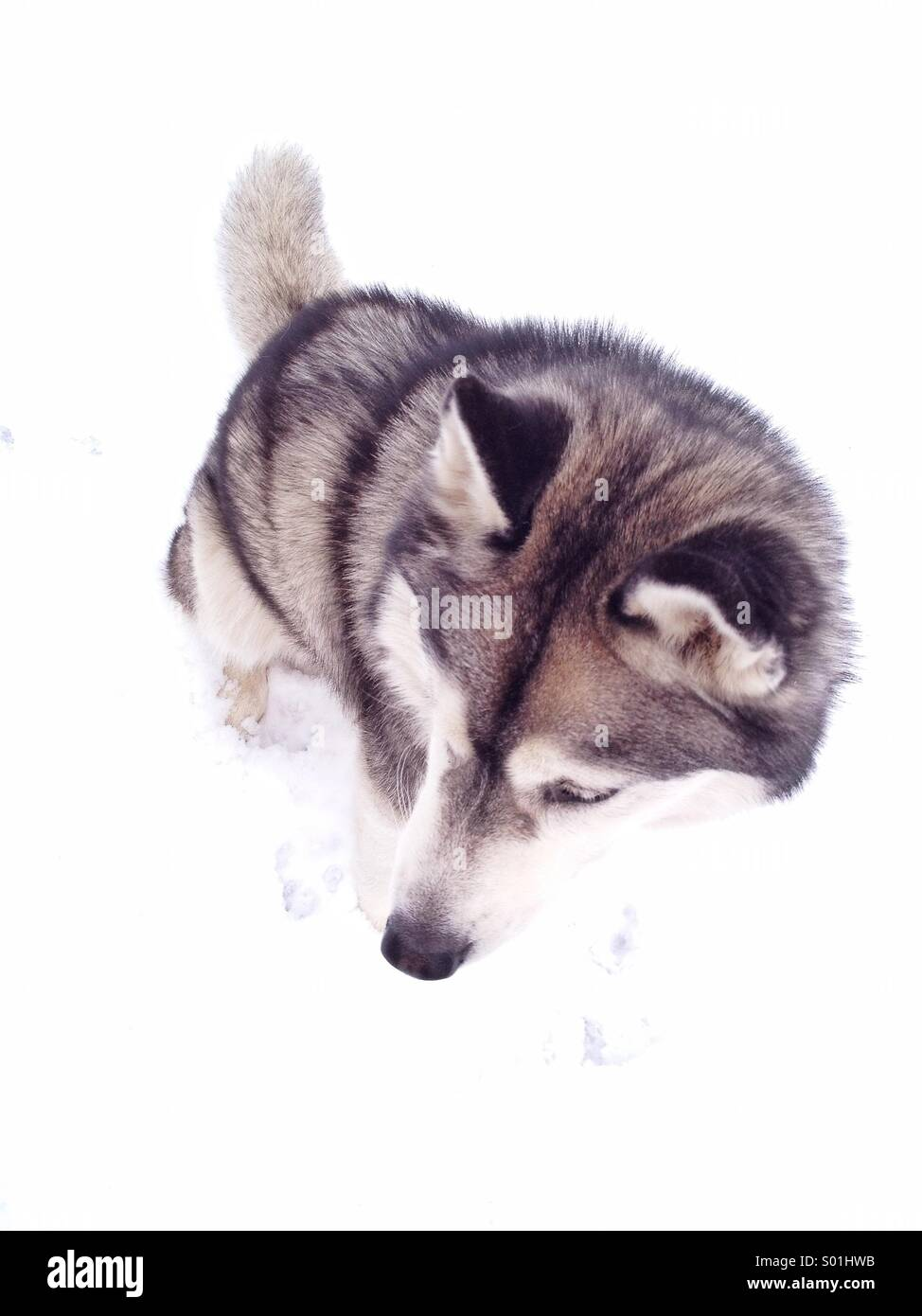 Looking down perspective of a husky on snow. - Stock Image