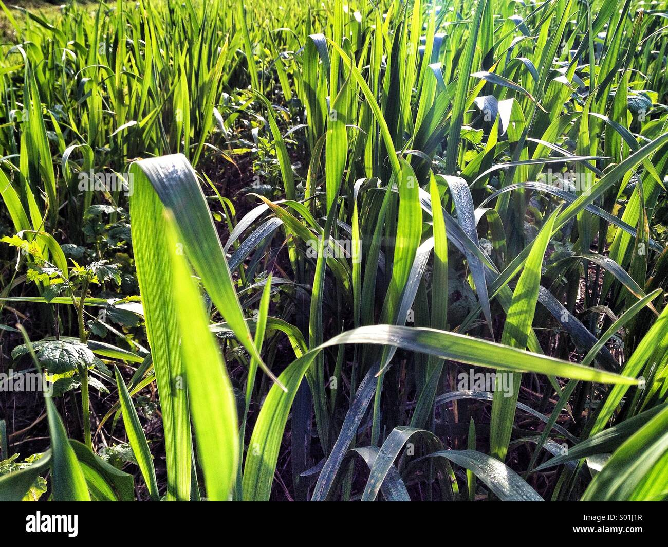 Blades if grass close up - Stock Image