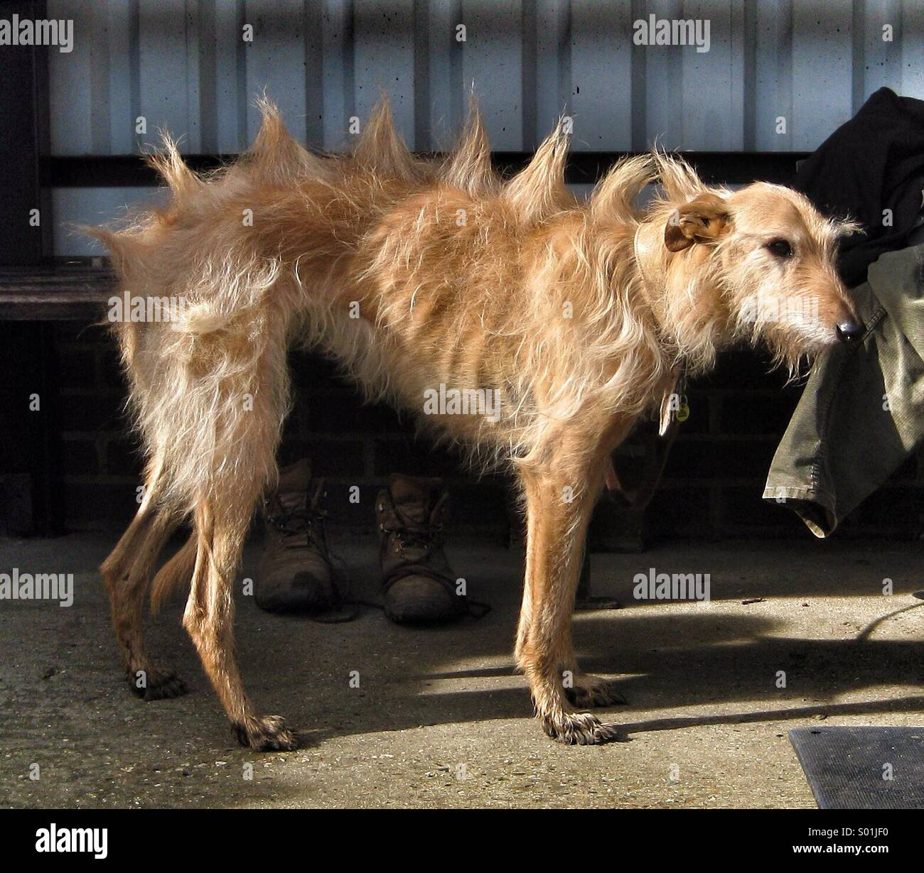 A lurcher dog with long hair formed into spines along its back. - Stock Image