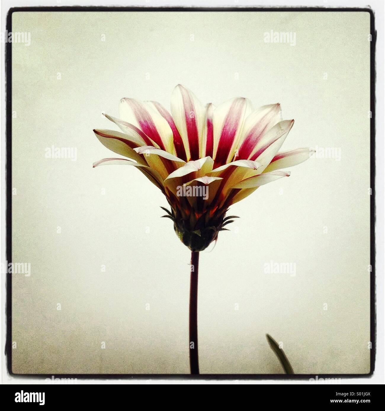 Single stripe dark pink and white dahlia  flower on white background - Stock Image