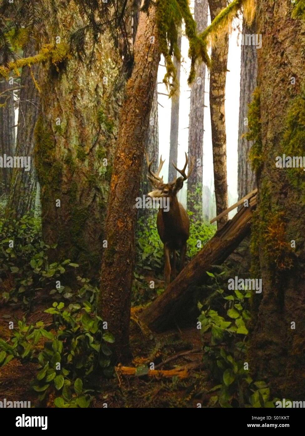 Deer in the woods - Stock Image