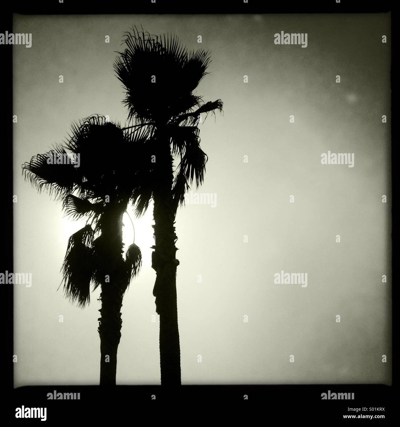 Silhouette of palm trees on Venice Beach, California. - Stock Image