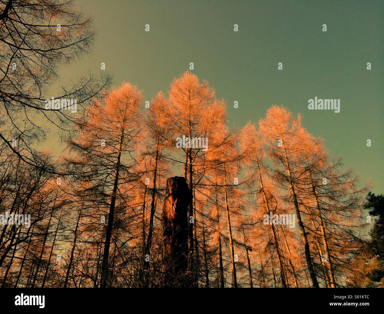Pine trees ancient woodland U.K. - Stock Image