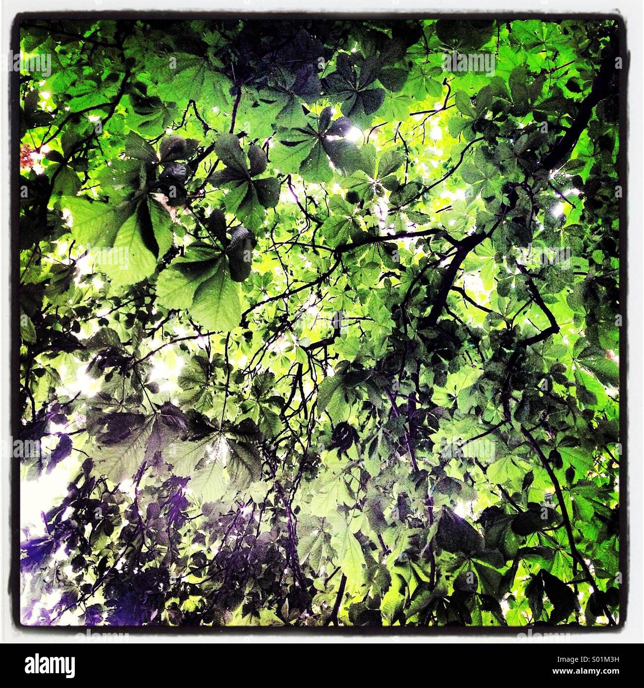 Looking up through horse chestnut tree leaves, sun shining through - Stock Image