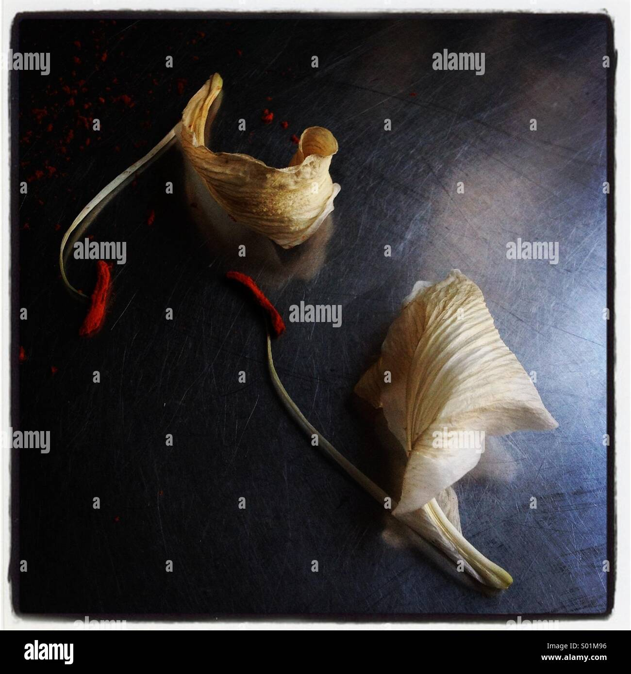 Dead lily petals on metallic surface - Stock Image
