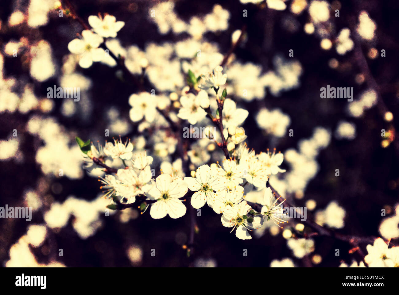 Blackthorn blossom, early spring. - Stock Image