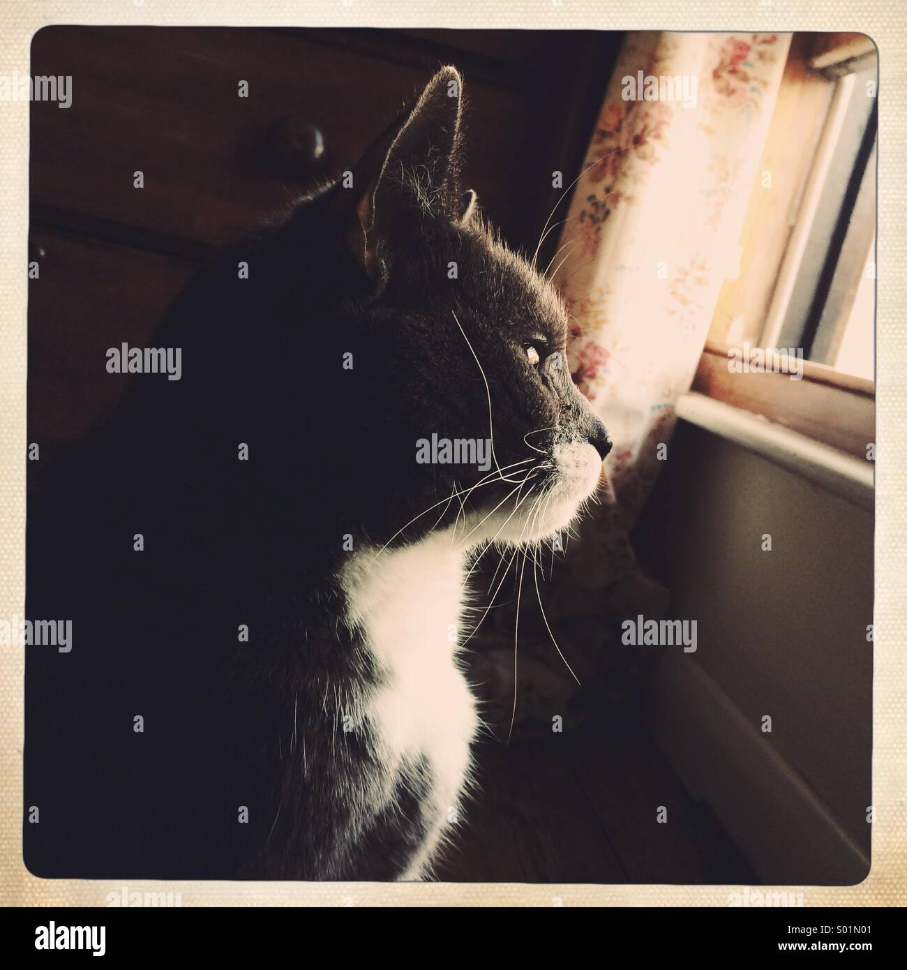 Grey cat looking out of a window - Stock Image