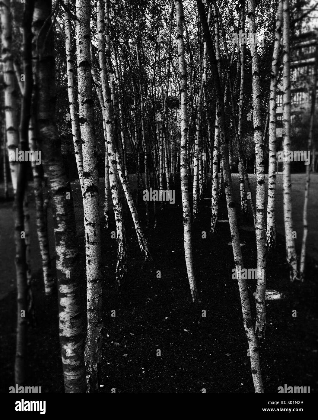 Sycamore Trees in Black and White - Stock Image