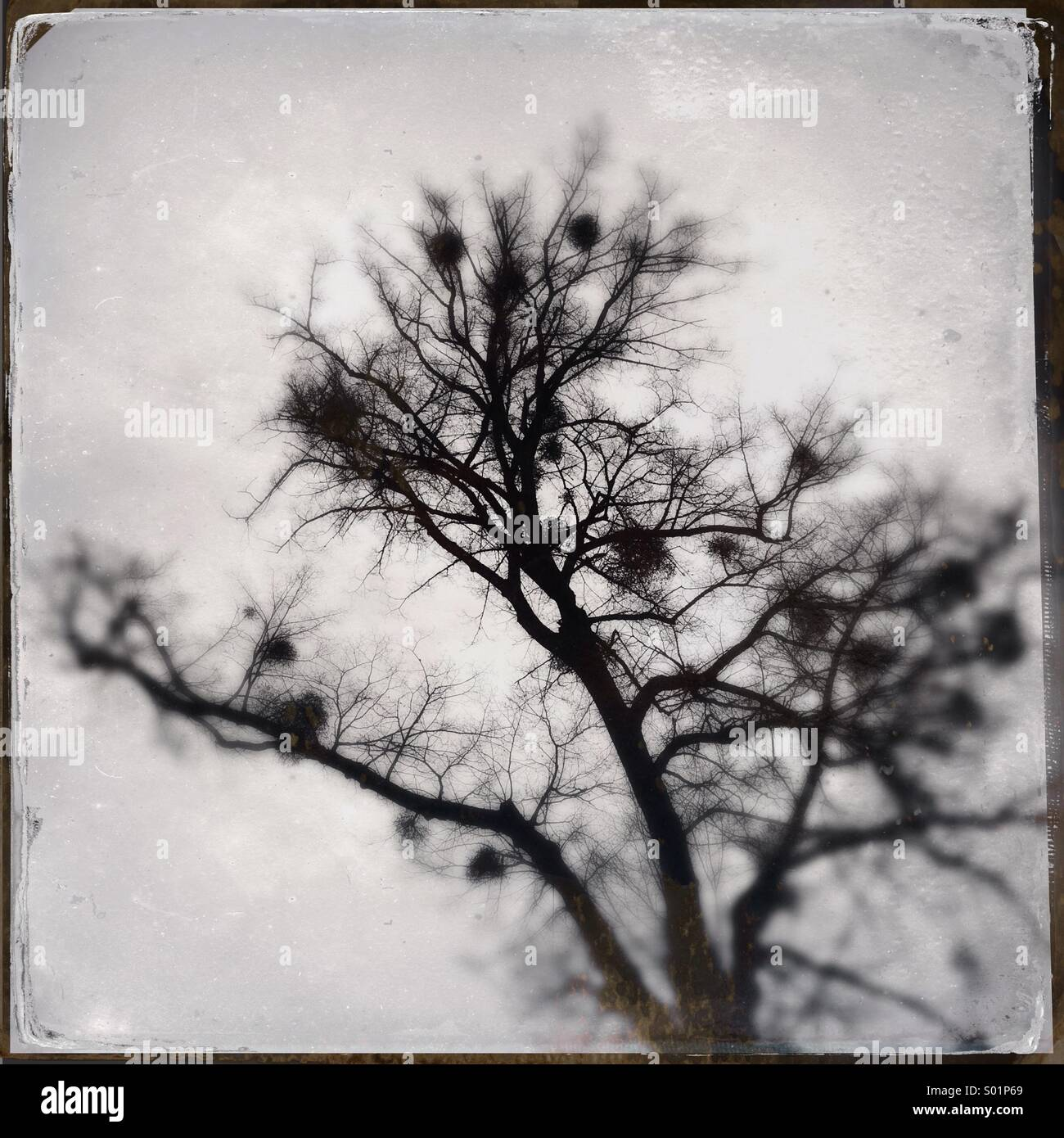 Tree black and white with mistletoes - wetplate texture effect - Stock Image