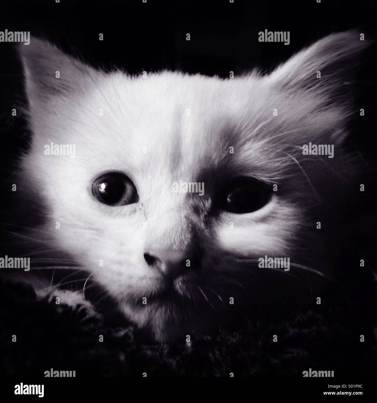 White Kitten - Stock Image