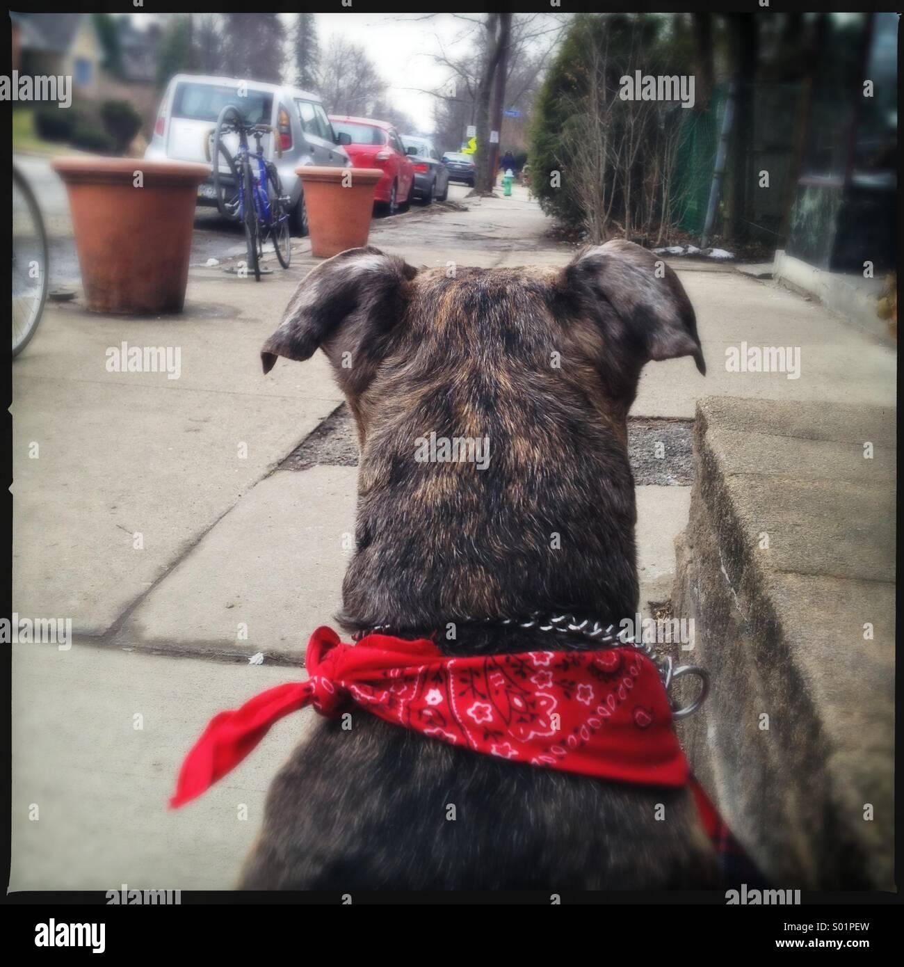 Dog with Red Bandana - Stock Image