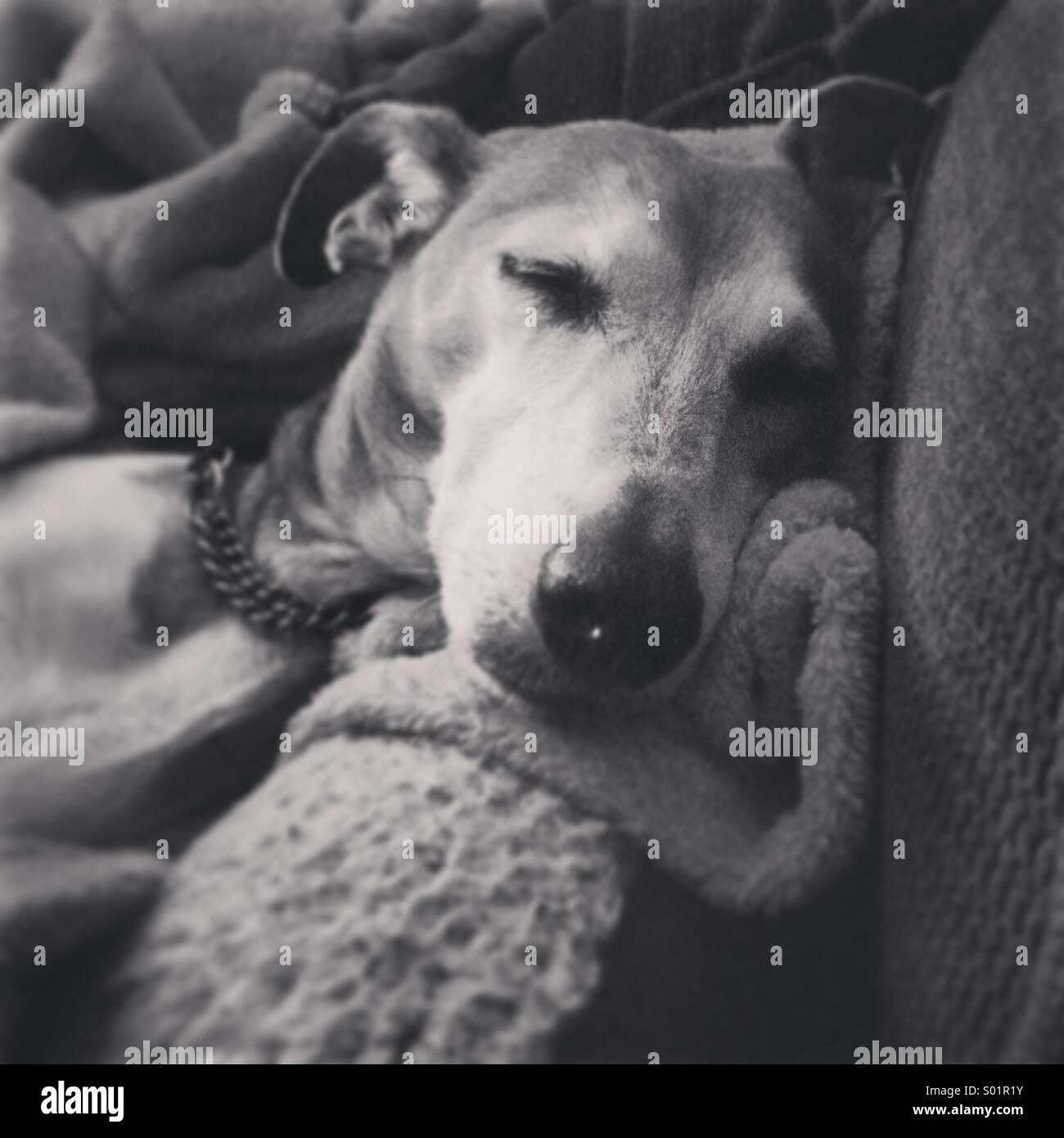Sleepy Pup - Stock Image