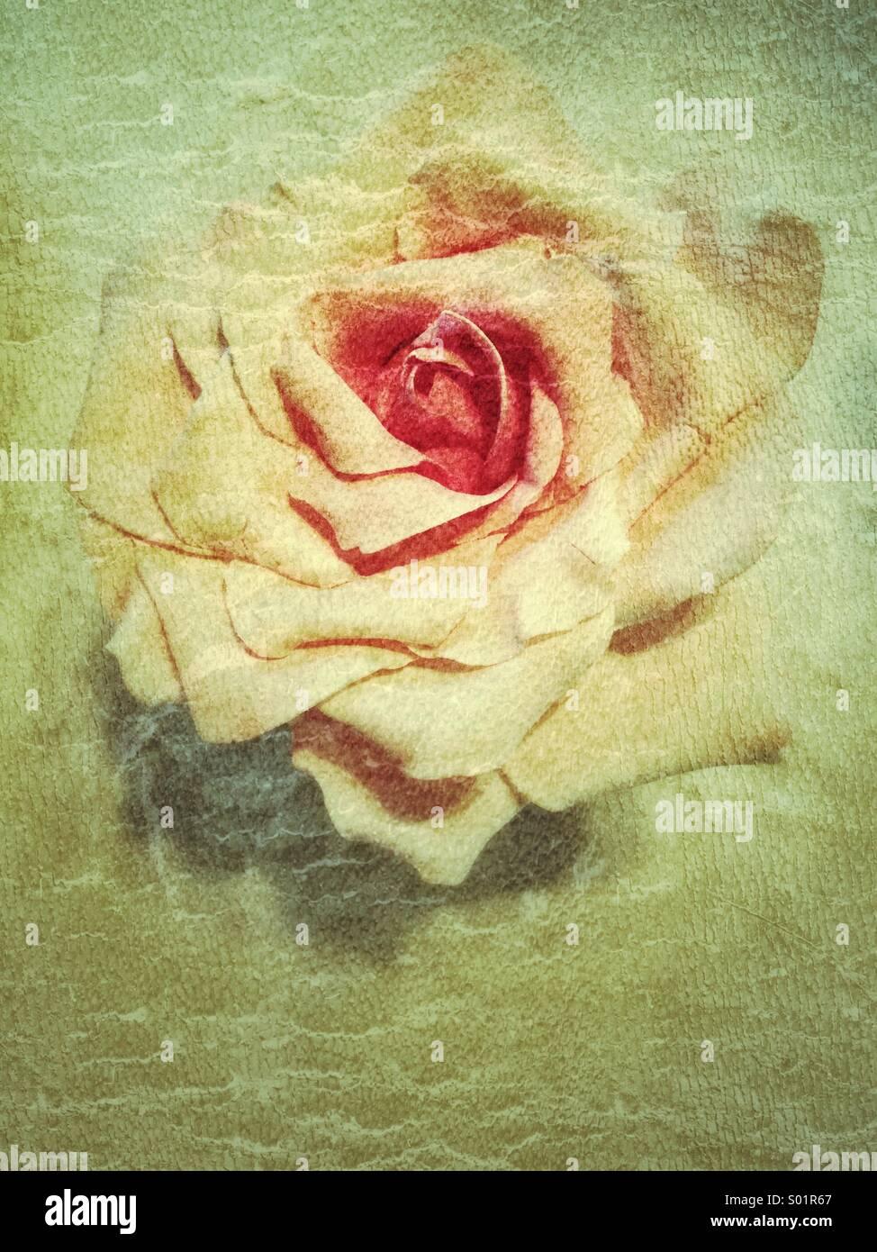 Rose blossom, vintage - Stock Image