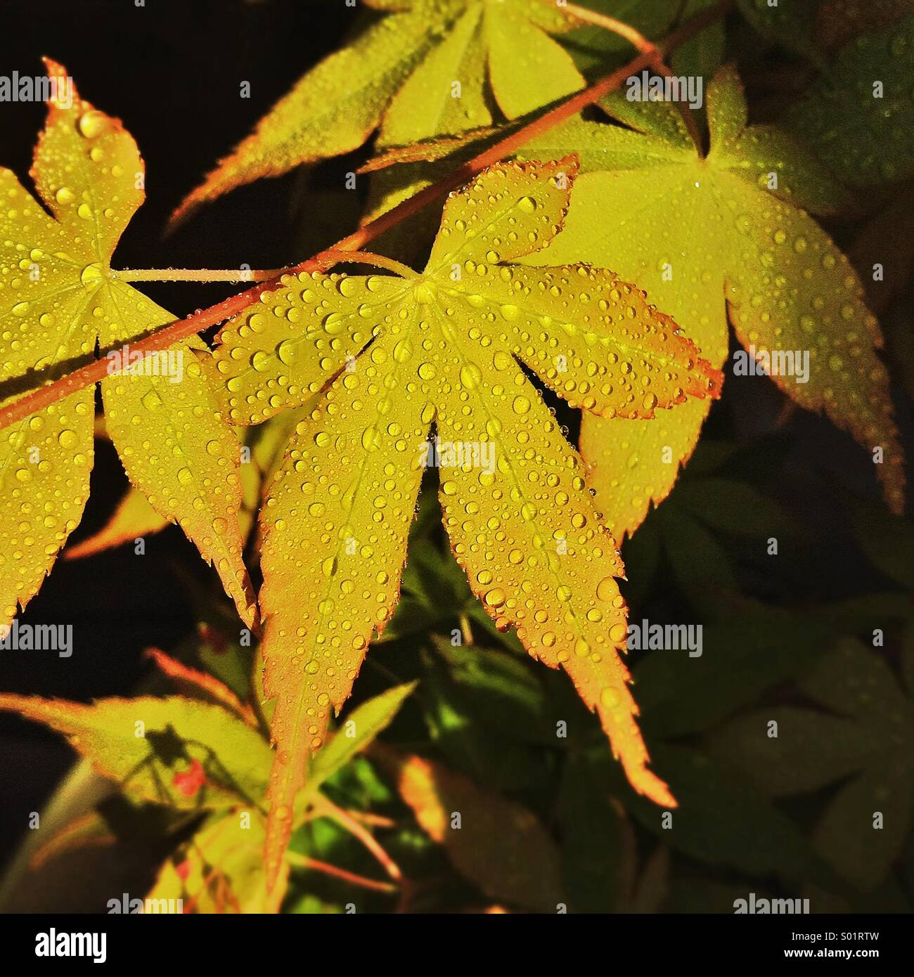 Japanese maple wet leaves. Acer japonicum leaf. - Stock Image