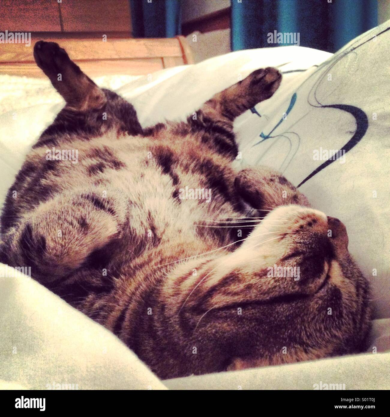 Tabby cat sleeping on his back - Stock Image