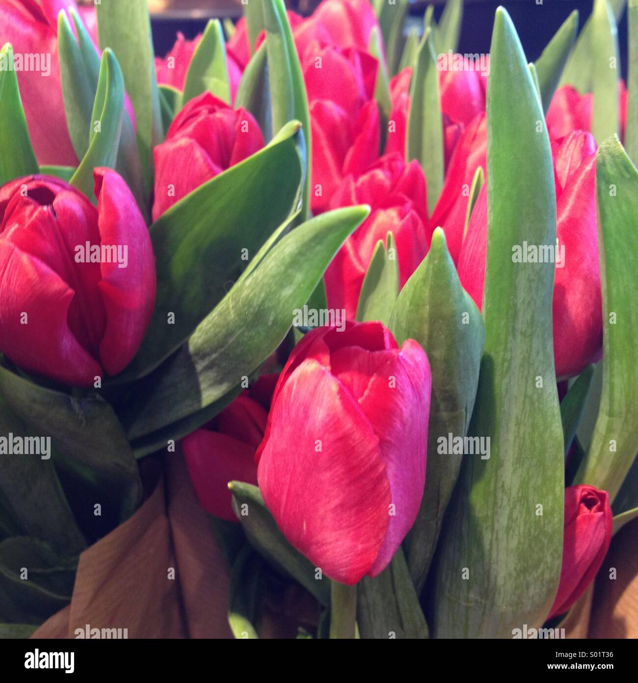 Pink Tulips - Stock Image