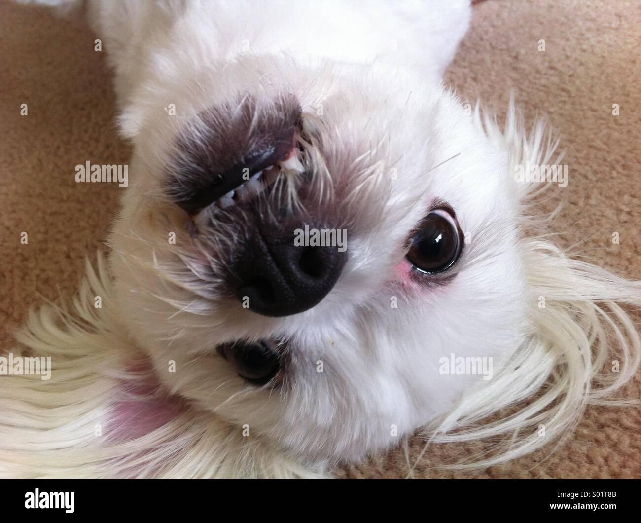 Scruffy the Maltese Terrier - Stock Image