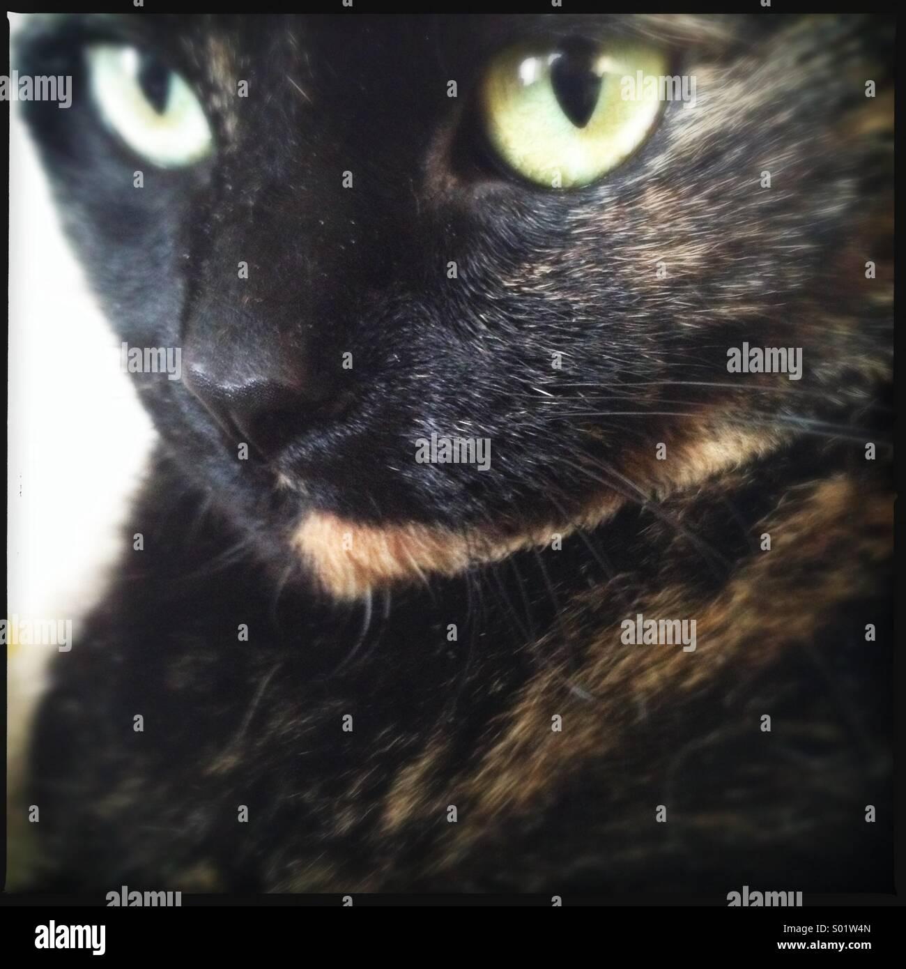 Dark Tortie Cat - Stock Image
