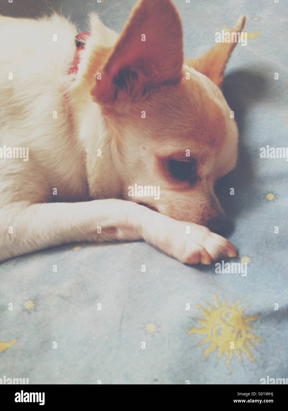 Small cute white chihuahua resting on a blue pillow - Stock Image