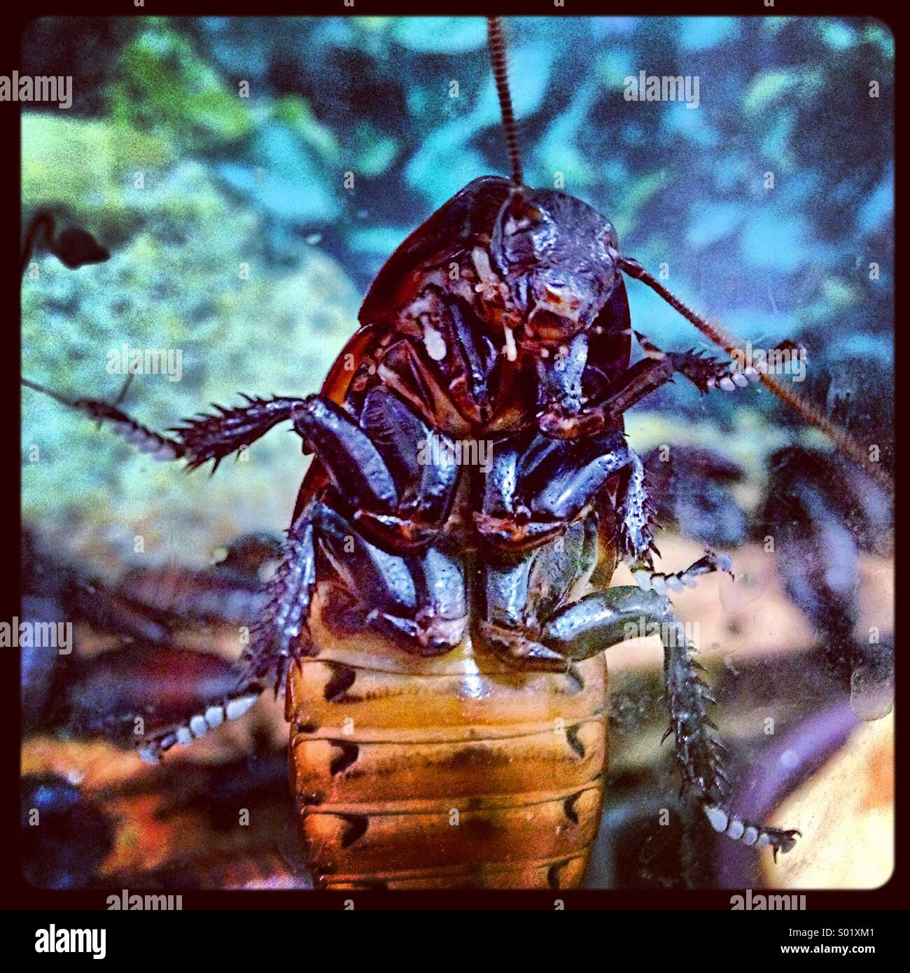 The underside of a Madagascar Hissing Cockroach. - Stock Image