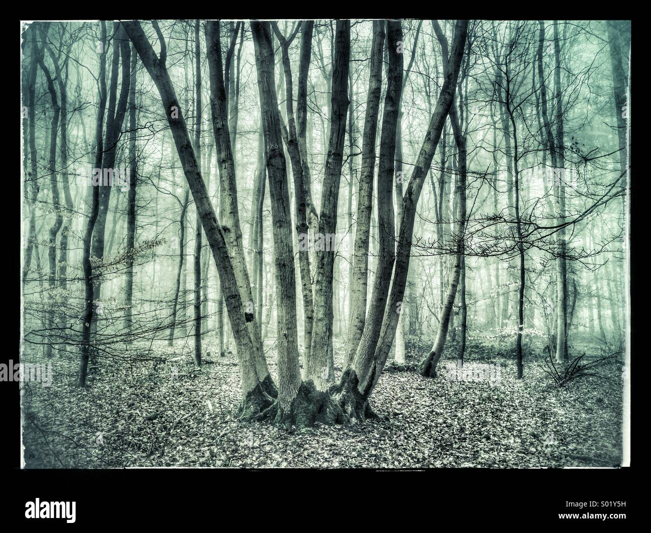 Ancient tree trunks in a misty wood - Stock Image