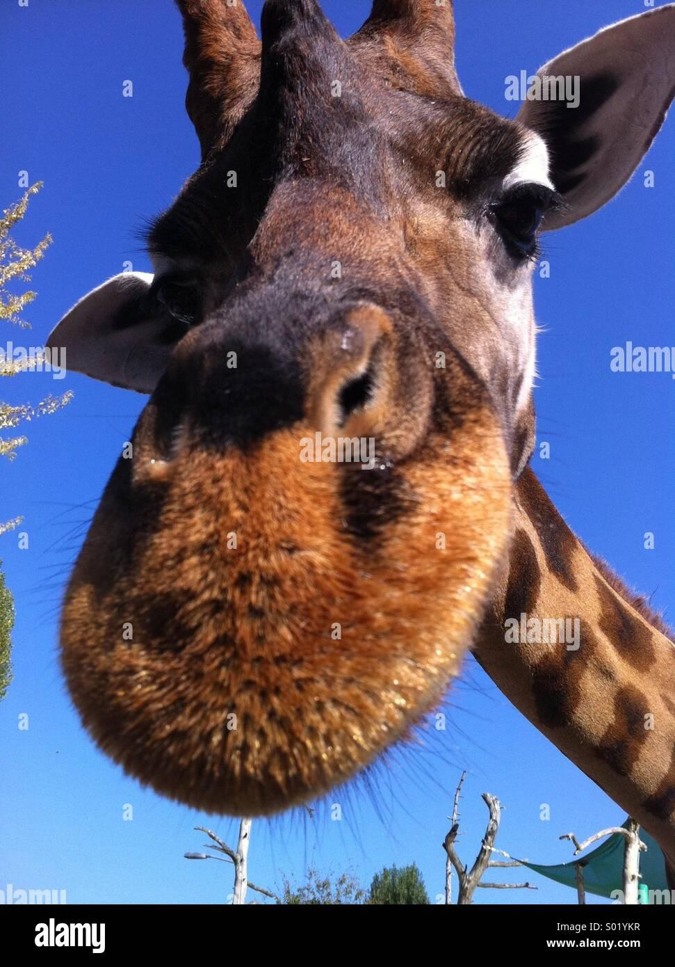 Friendly giraffe - Stock Image