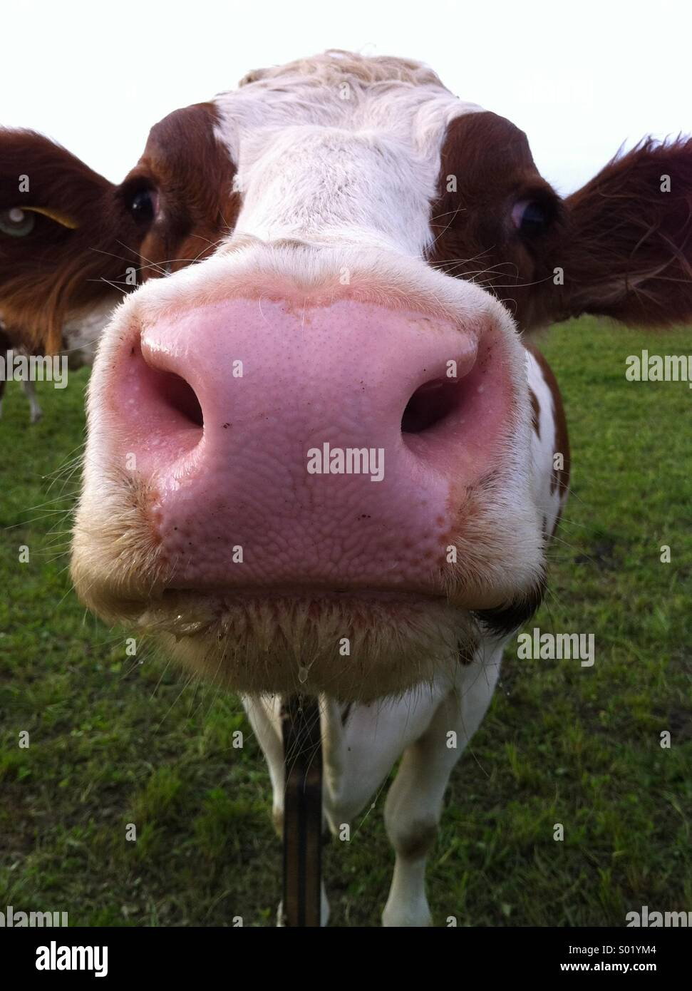 Cow close up and personal - Stock Image