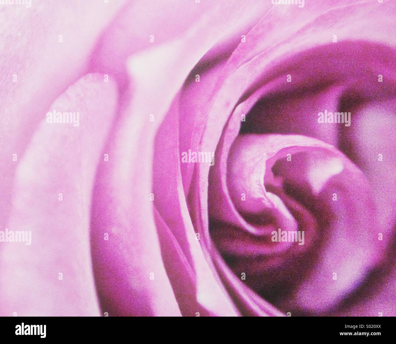 Purple rose - Stock Image