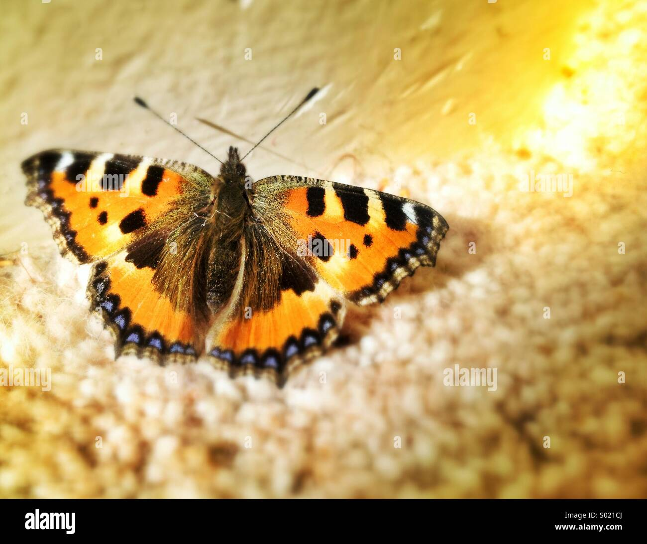 Small tortoise shell butterfly, close up - Stock Image
