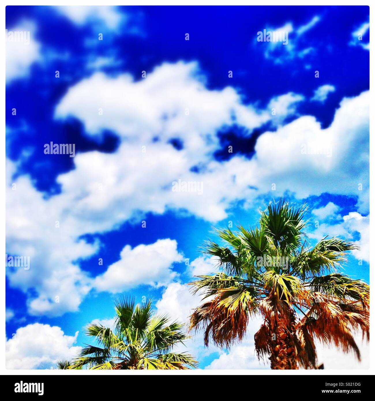Vivid palm trees against fluffy white clouds - Stock Image