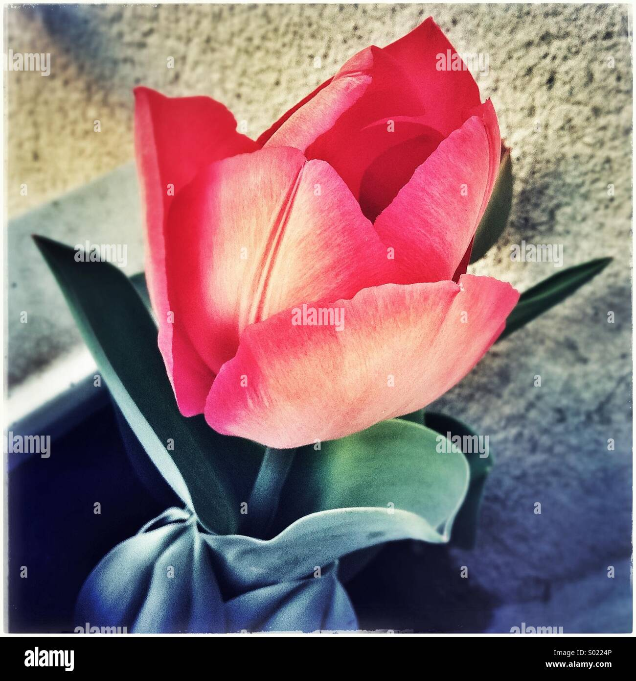 Tulip flower at home - Stock Image